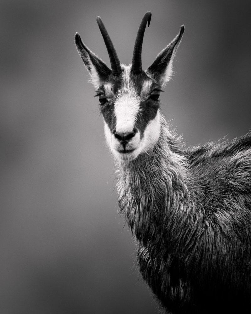 Schwarz-Weiß Porträt einer Gämse