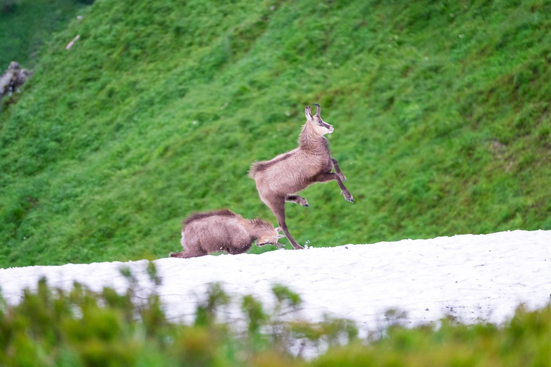 Zwei junge Gämsen springen auf einem Schneebrett
