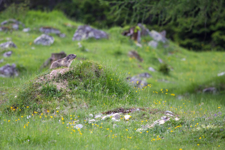 Murmeltier auf Wachposition in Wiesenlandschaft