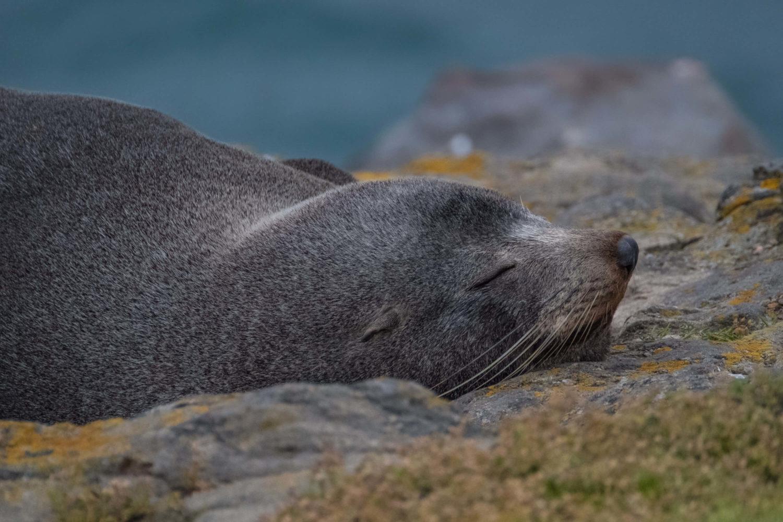 Schlafender Seebär