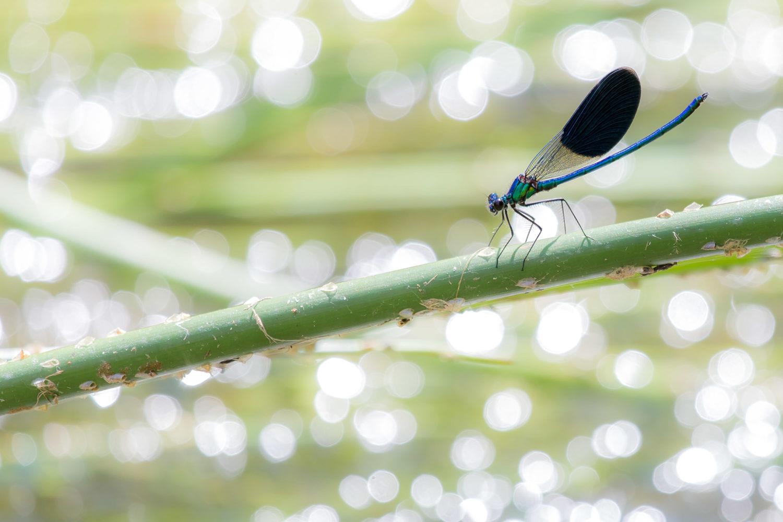 Doppelflügelige Libelle vor glitzerndem Wasser