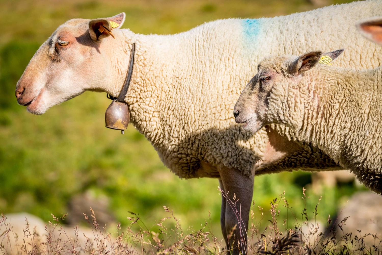 Schafe am Lägh da la Duana
