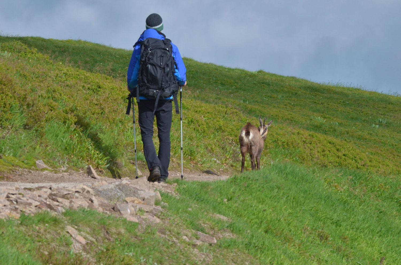 Wanderer läuft kurz hinter Gämse auf Wanderweg