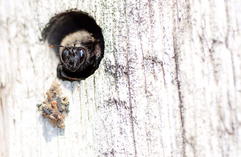 Holzbiene in ihrer Höhle