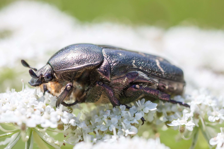 Großer Käfer auf einer Blüte