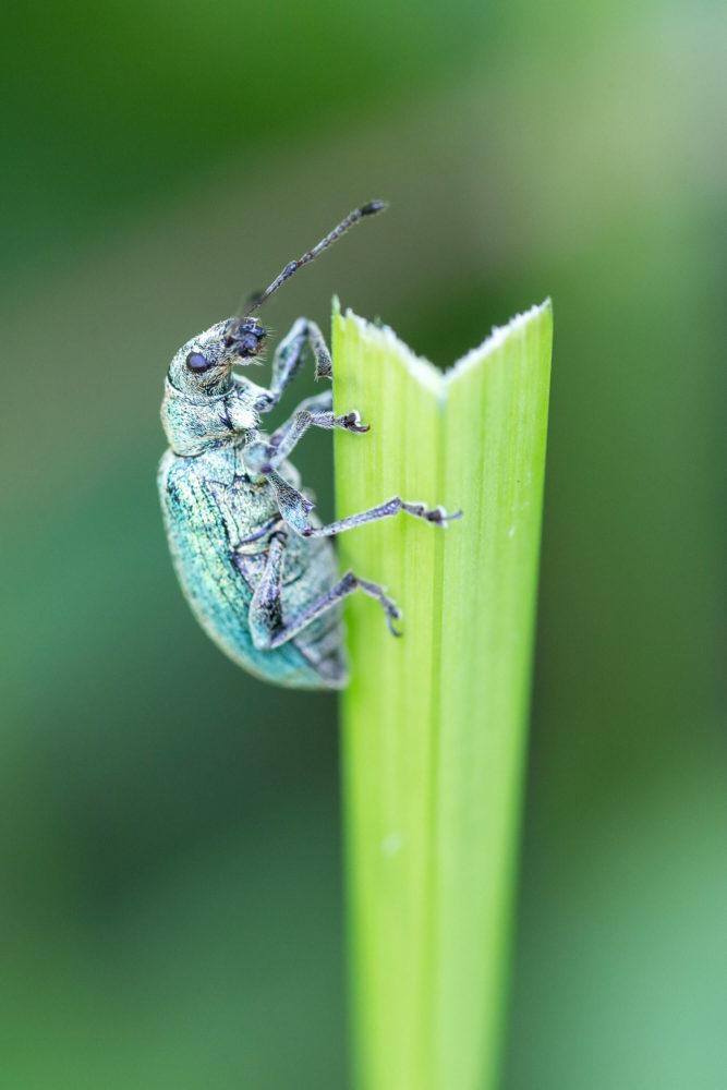 Grüner Käfer an einem grünen Halm