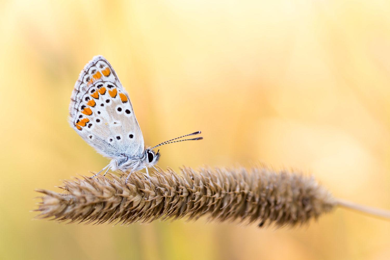 Schmetterling im goldenen Licht am Morgen