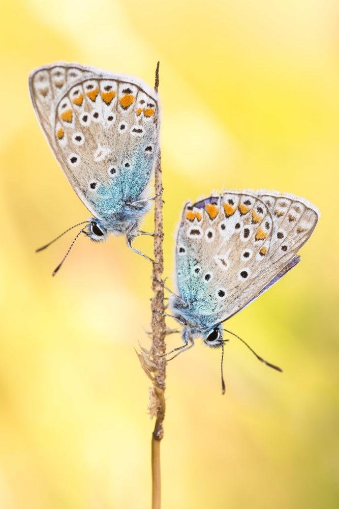 Zwei Schmetterlinge auf einem Halm