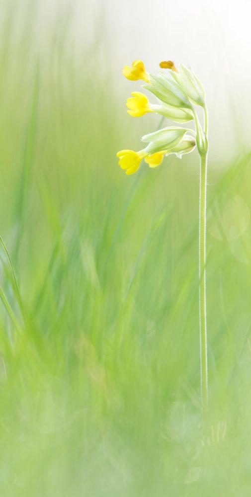 Wiesenschlüsselblume
