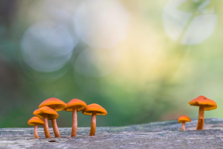 Zwei Gruppen orangener Pilze vor hellem Hintergrund