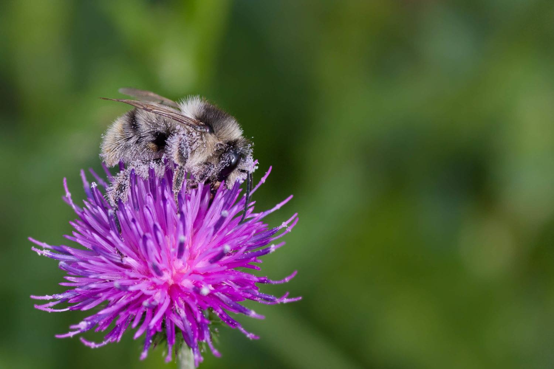 Makrofotografie einer Biene voller Pollen auf einer lilanen Blüte