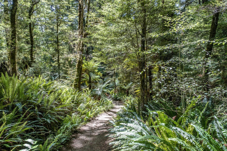 Weg durch den Birkenwald auf dem Kepler Track