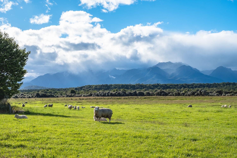Schafe auf einer Wiese vor den Bergen des Fjordland National Parks