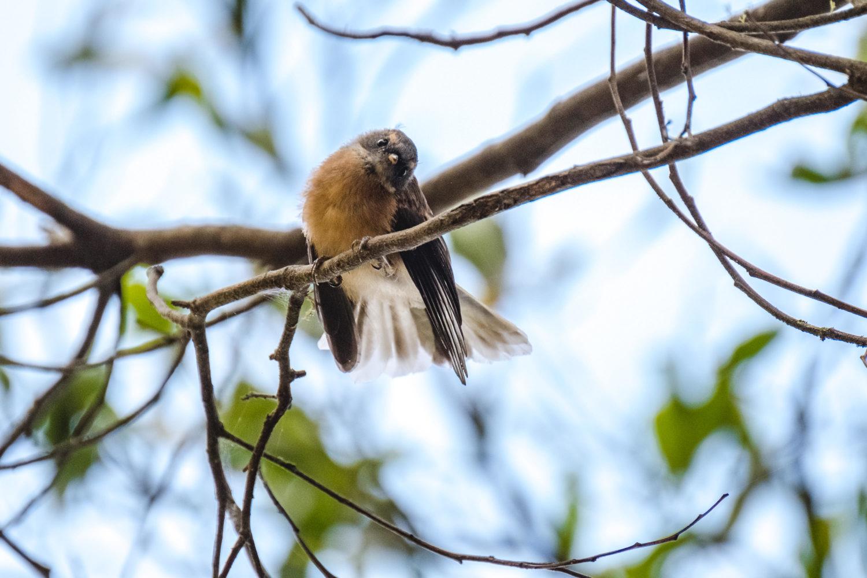 Fantail in einem Baum