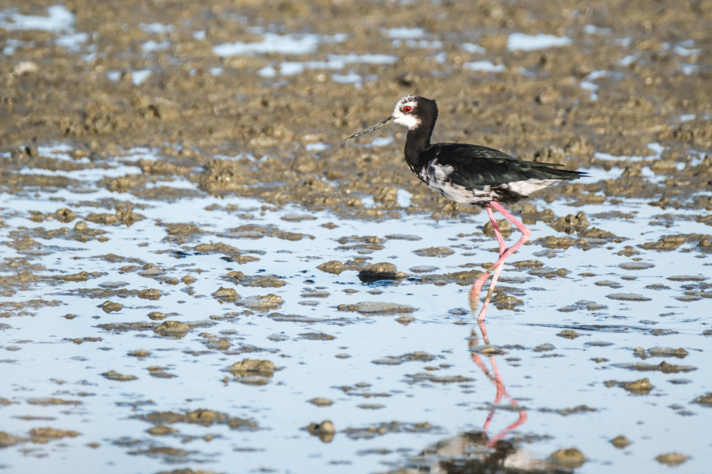 Vogel stakst durch flaches Wasser