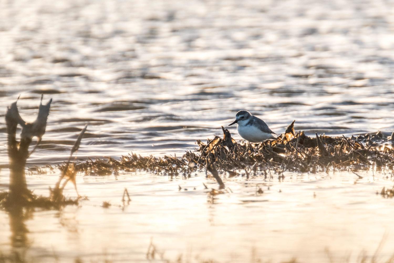 Vogel mit krummem Schnabel in der Abendsonne