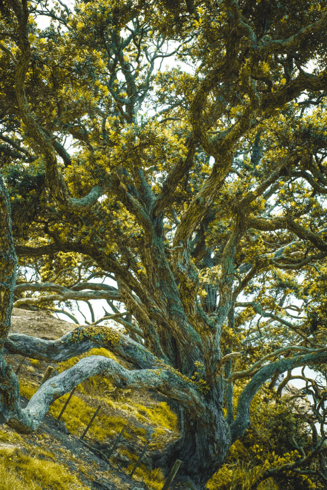 Knorriger Baum mit gelben Blättern auf der Coromandel Peninsula