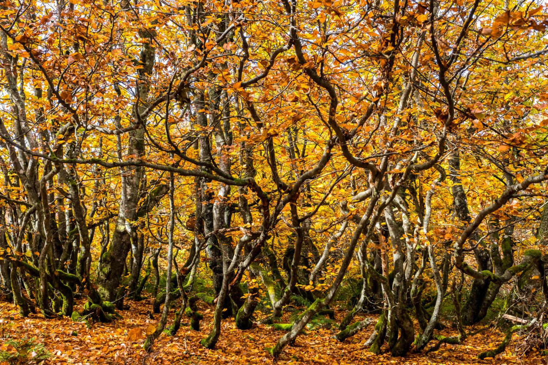 Wald mit vielen knorrigen Ästen und Herbstlaub