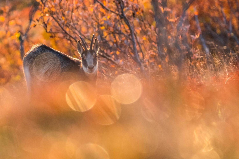 Gämse sieht in die Kamera im Morgenlicht in den Vogesen