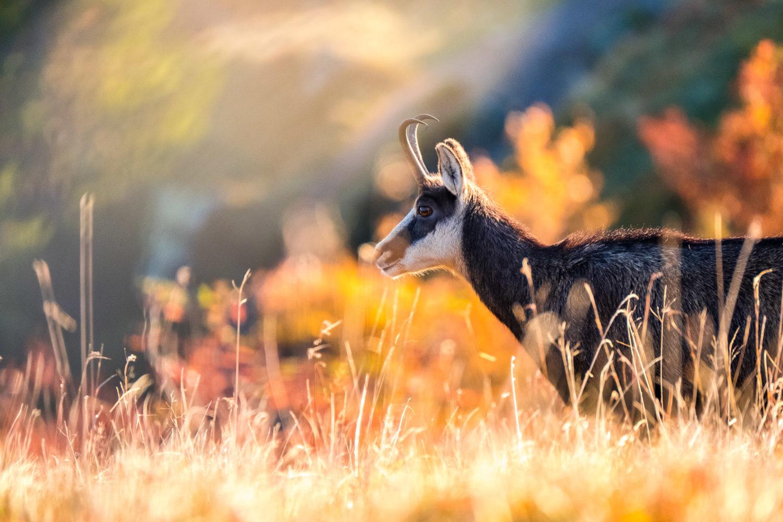 Gämse im Profil vor Herbstfarben