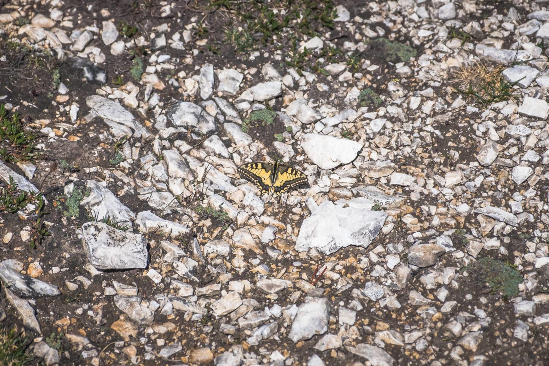 Schwalbenschwanz sitzt auf steinigem Boden
